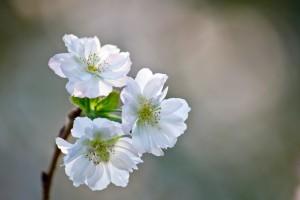 満開に咲く十月桜